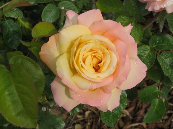 rosededenise