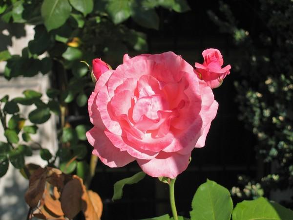 rose-Denise
