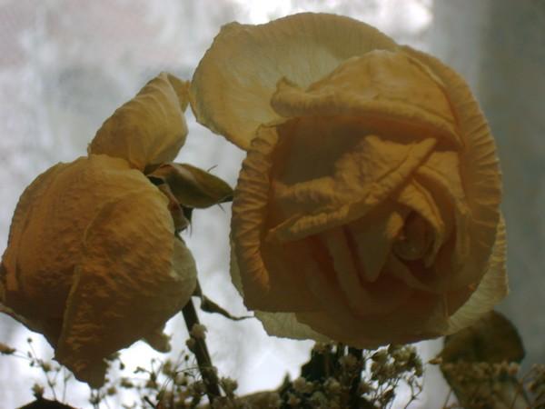 rosesdoctobre