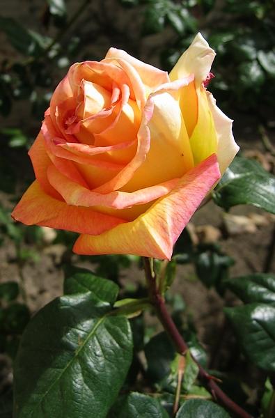 premiere-rose-du-printemps.jpg