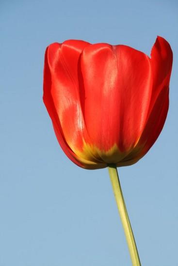 une-fleur-our-lali-la-tulipe-rouge-img_0225.jpg