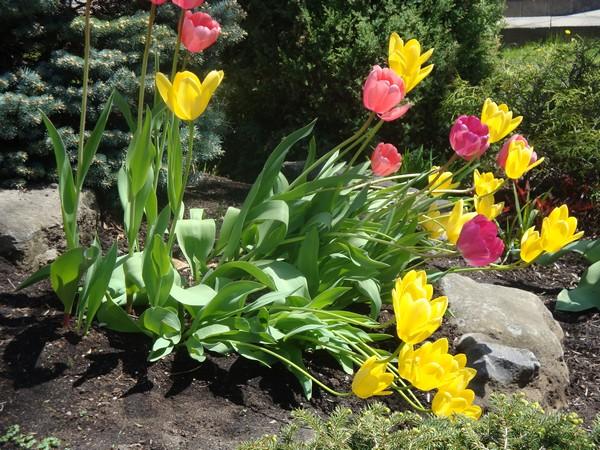 photo-386_tulipes.jpg