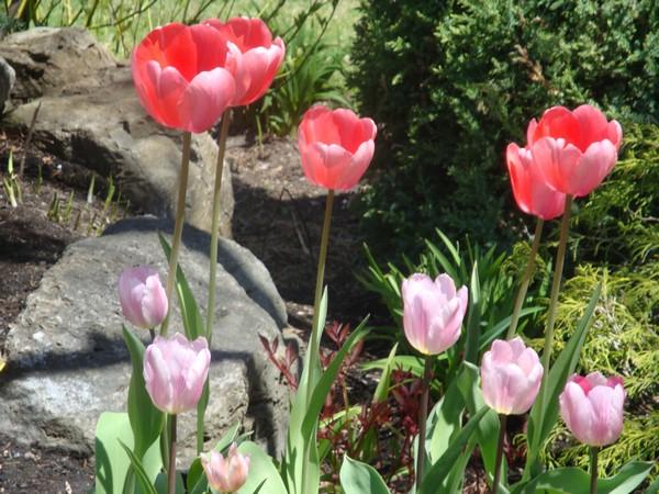 photo-395_tulipes.jpg