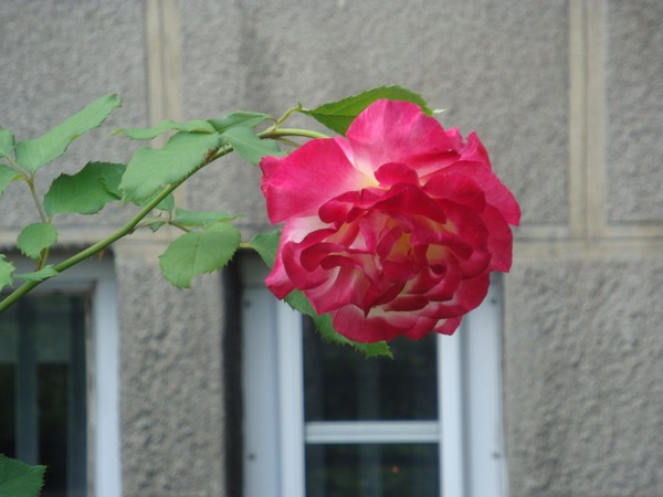 photo-071_justeunerose.jpg