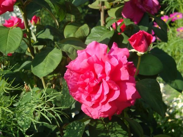 photo-093_rose.jpg