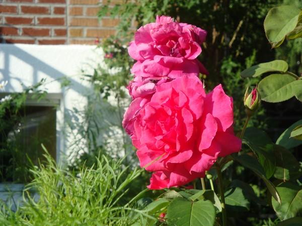 photo-094_rose.jpg