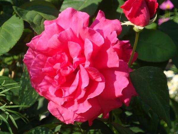 photo-095_rose.jpg