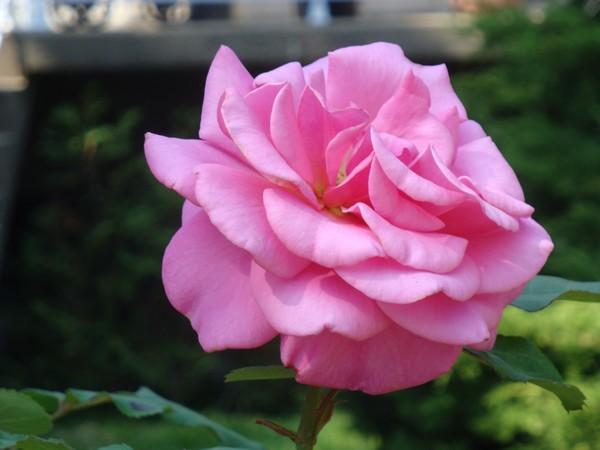 photo-088_rose.jpg