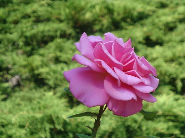 photo-089_rose.jpg