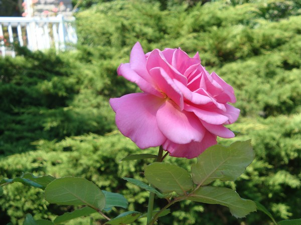 photo-090_rose.jpg