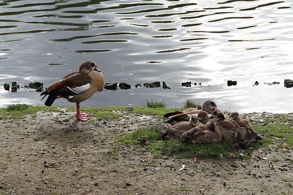 famille-de-canards-02-2010-10-16_0055.jpg