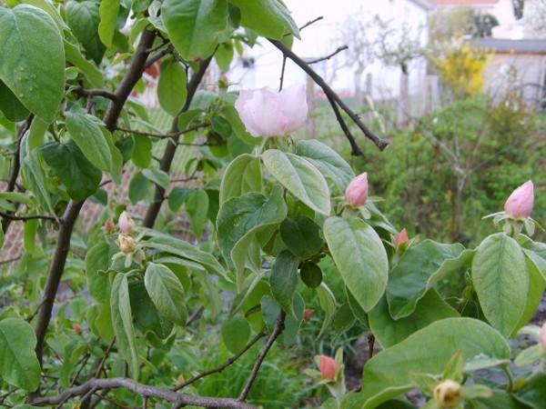 arbre-fruitier-mystere.JPG