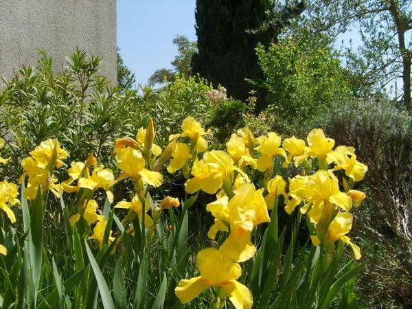 iris-jaunes-en-groupe.JPG