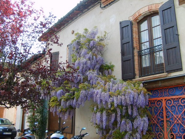 la-glycine-de-lisle.JPG
