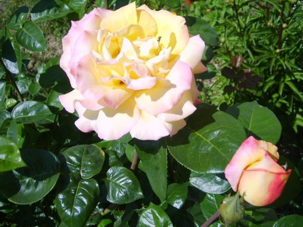 rose-au-soleil.JPG