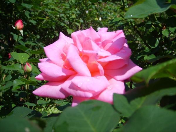 rose-epanouie.JPG