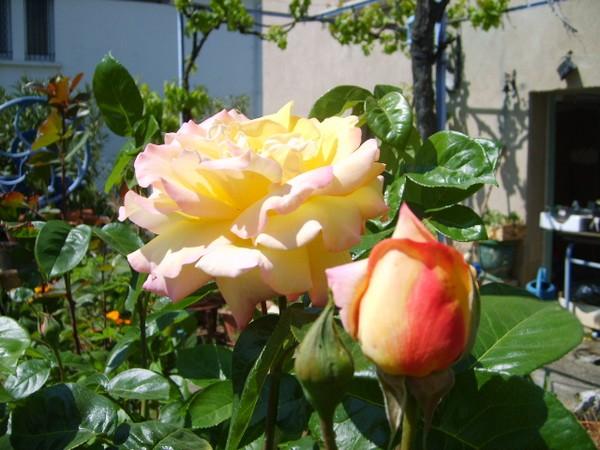 rose-jaune-du-21-04-11.JPG