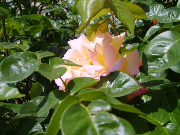 rose-timide.JPG