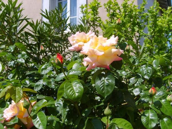 roses-epanouies-21-04-11.JPG