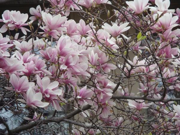 magnolia4.jpg