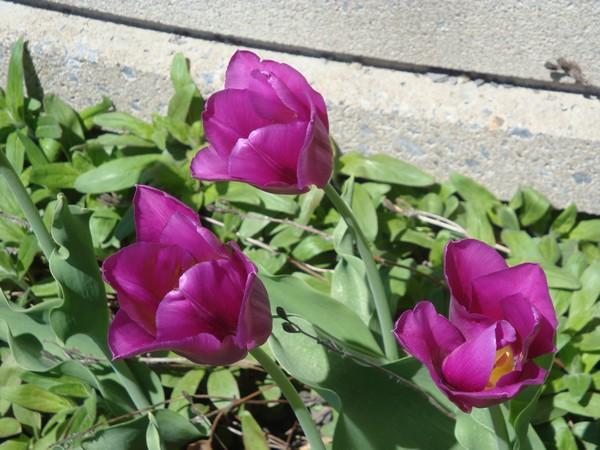 mai2011_tulipes_1.jpg