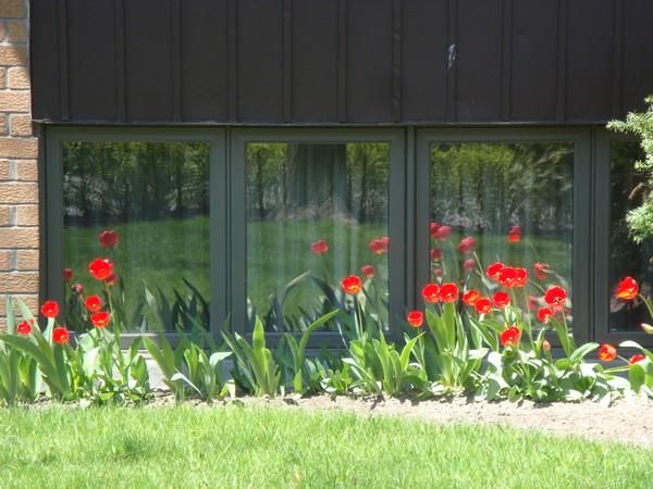 mai2011_tulipes_2.jpg