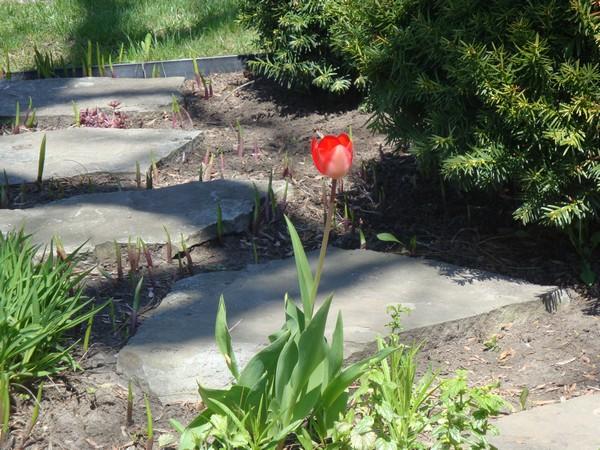 mai2011_tulipes_3.jpg