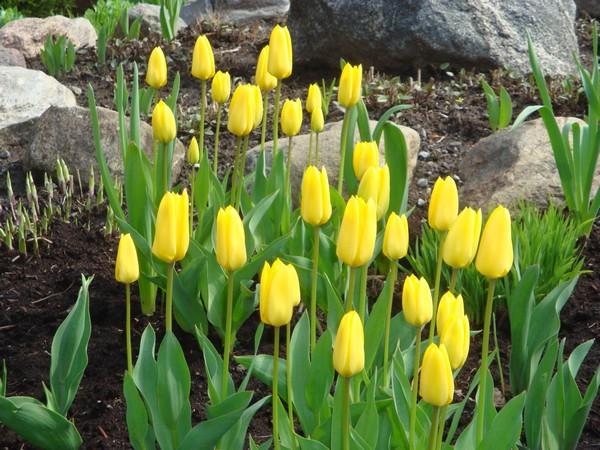 photo-410_tulipes.jpg