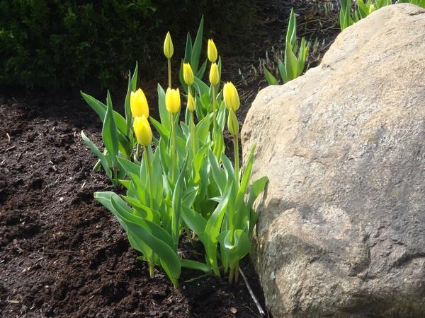 photo-415_tulipes.jpg