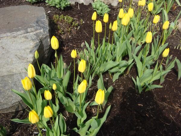 photo-421_tulipes.jpg