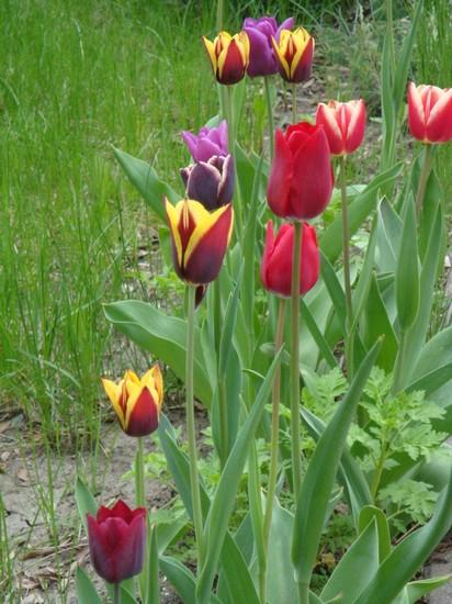 t10_tulipes.jpg