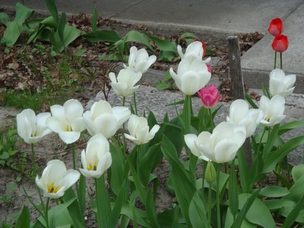 t11_tulipes.jpg
