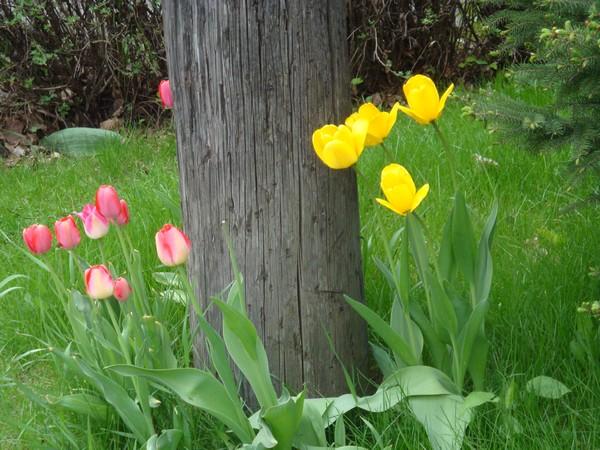 t12_tulipes.jpg