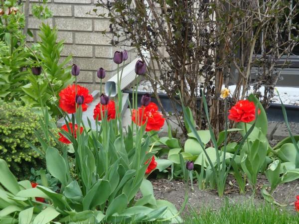 t1_tulipes.jpg