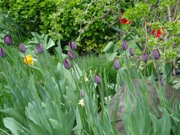 t2_tulipes.jpg