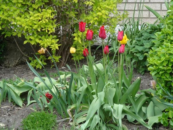 t3_tulipes.jpg