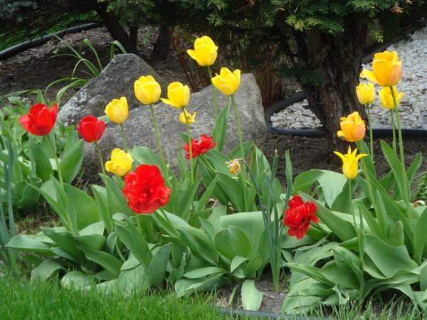 t4_tulipes.jpg
