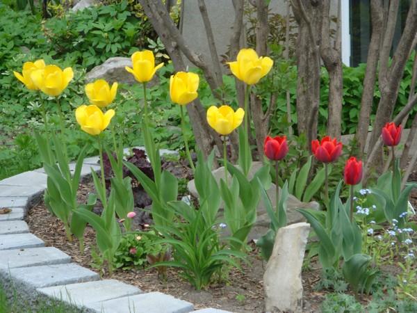 t8_tulipes.jpg