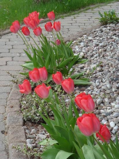 t9_tulipes.jpg
