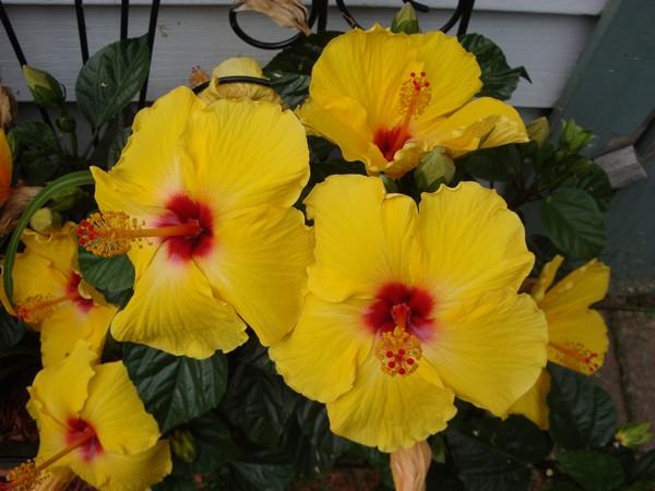 photo-018_hibiscus.jpg