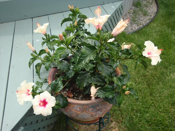 photo-034_hibiscus.jpg
