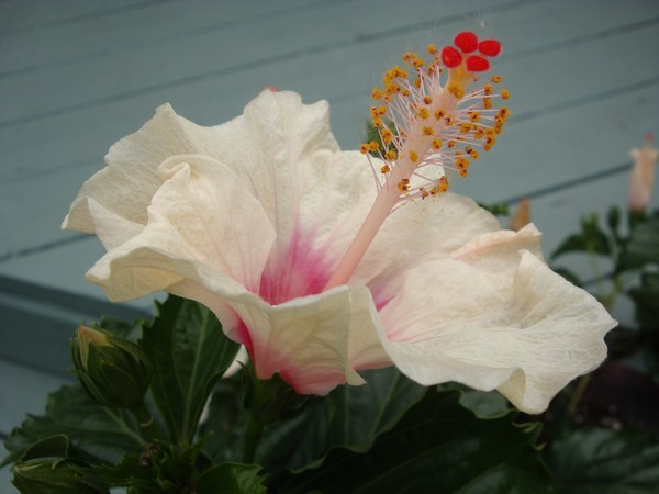 photo-037_hibiscus.jpg
