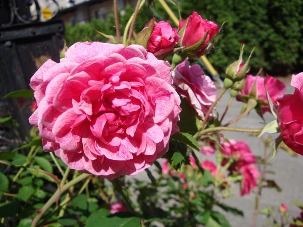 photo-118_roses.jpg
