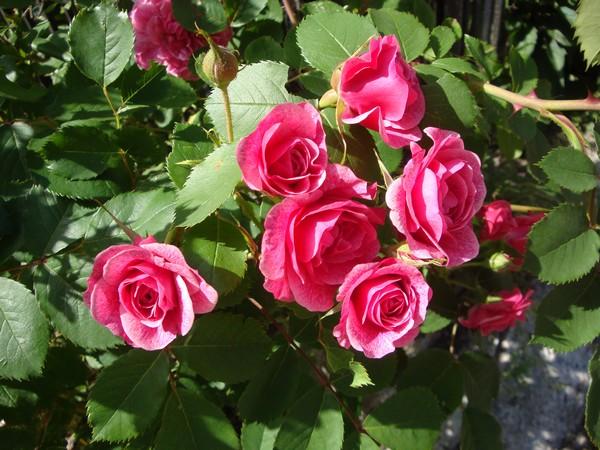 photo-120_roses.jpg
