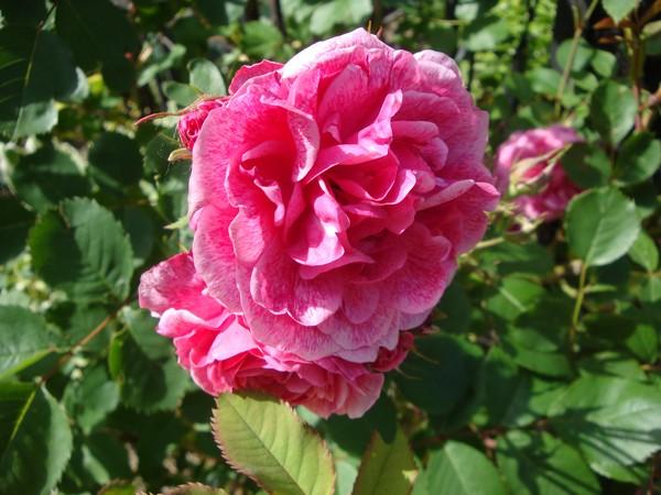 photo-121_roses.jpg