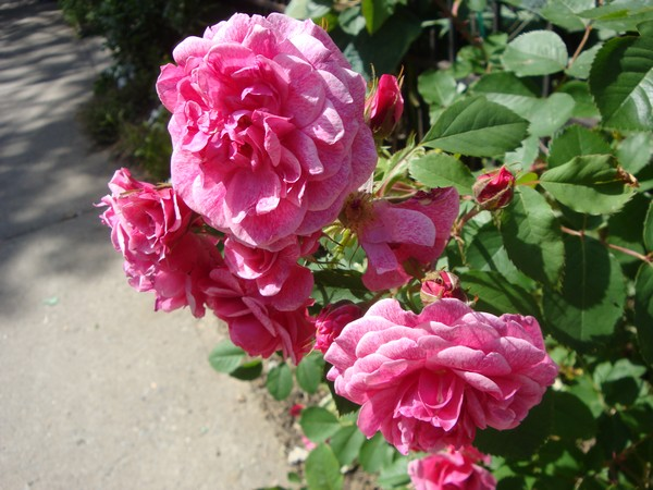photo-122_roses.jpg