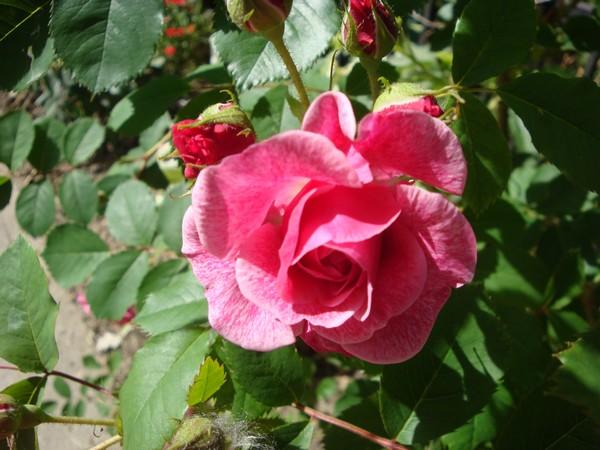 photo-123_roses.jpg