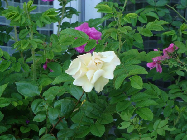 photo-124_roses.jpg