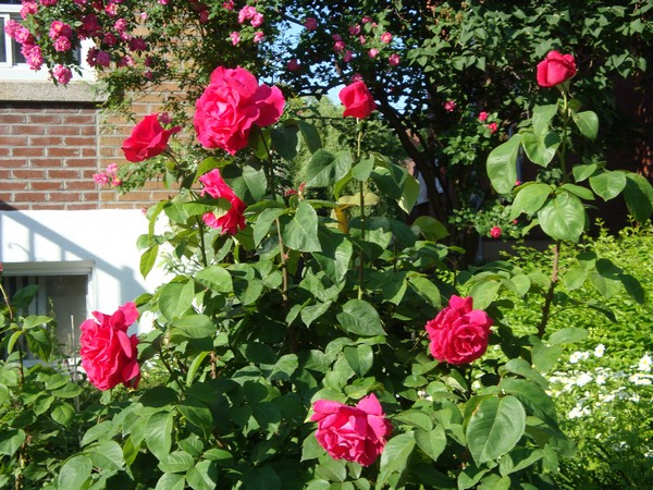 photo-129_roses.jpg