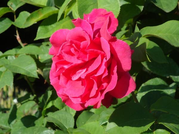 photo-130_roses.jpg